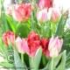Pflegetipps und Wissenswertes zur Tulpe