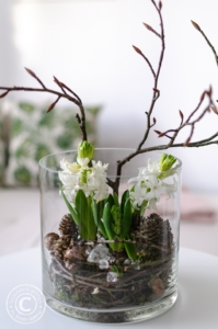 Weiße Hyazinthen dekoriert in einem Glas mit Zapfen, Zweigen und Glasbrocken