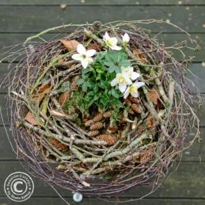 Kranz aus Ästen und Zweigen bepflanzt mit Christrose und Krokussen