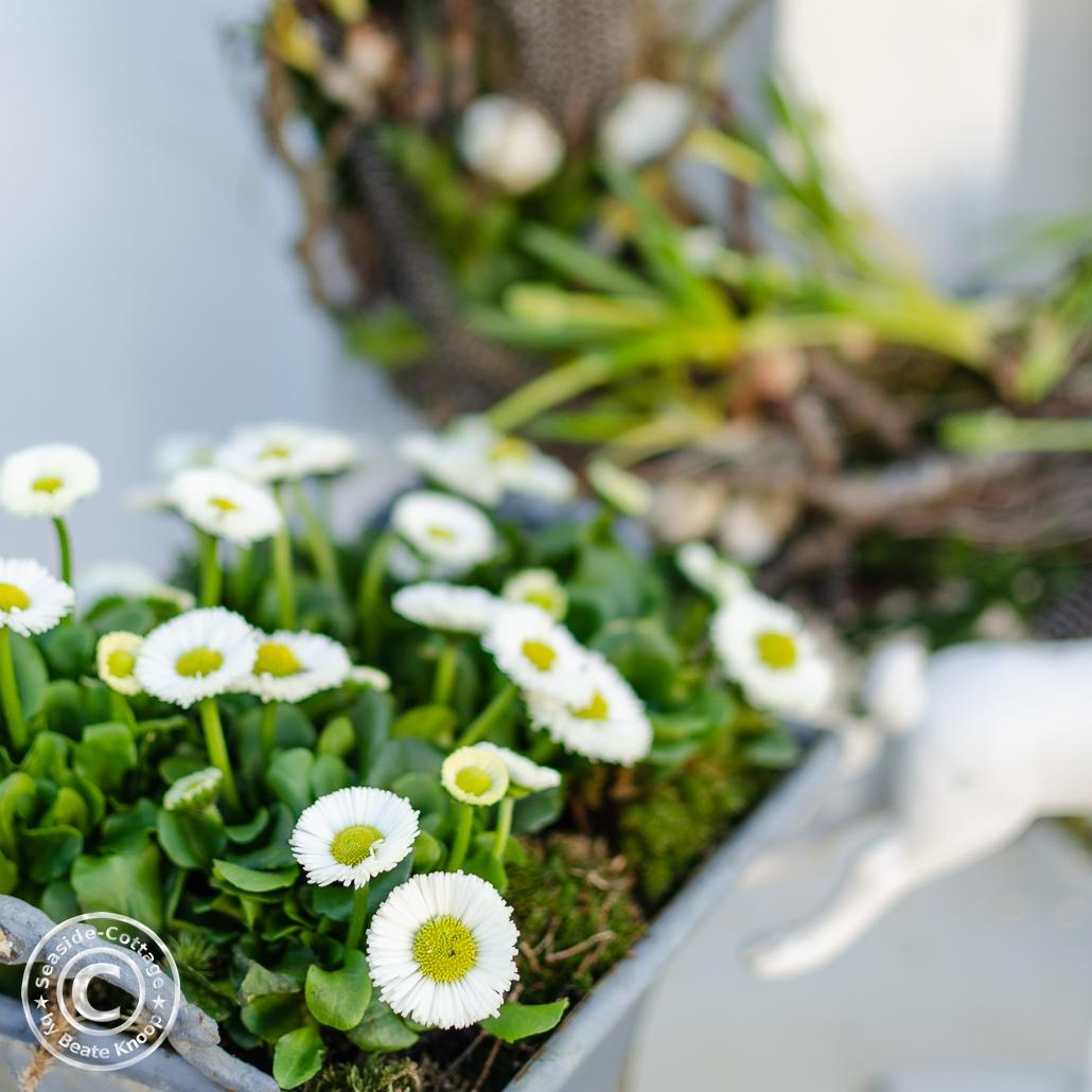 Frühlingsblumen Weiße Tausendschön Bellis
