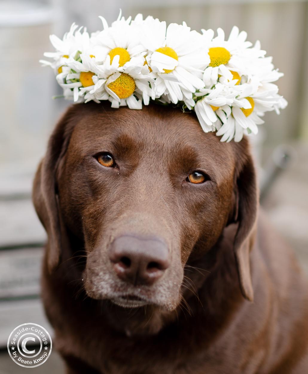 braune Labrador mit Margerittenkranz