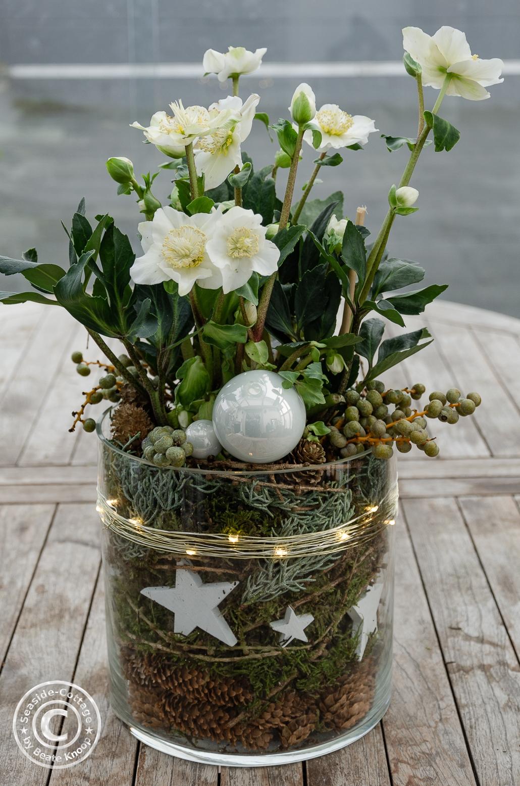 Christrose im Topf weihnachtlich dekoriert