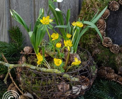 Naturnahe Gartendeko mit Wintelingen in einem Drahtkorb mit Moos, Laub und Zweigen
