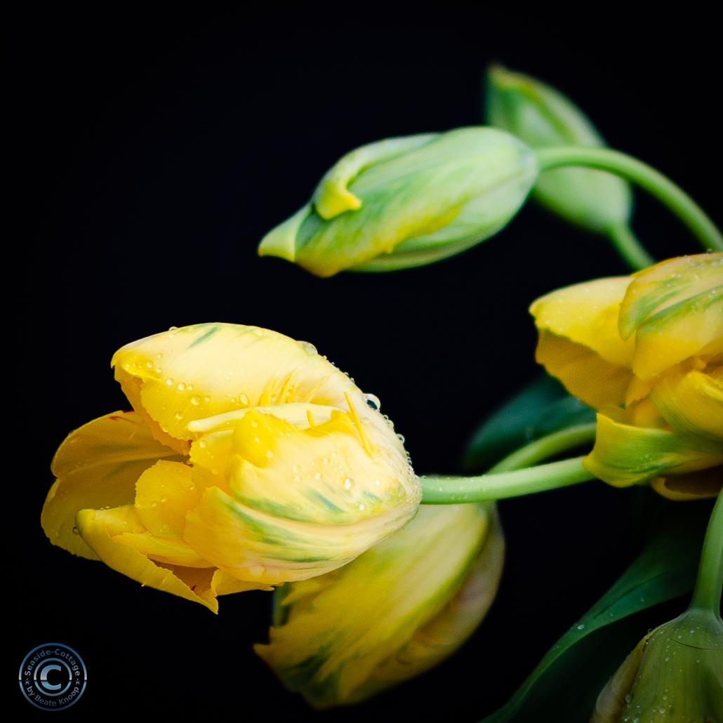 Gelbe Tulpenblüten vor schwarzem Hintergrund