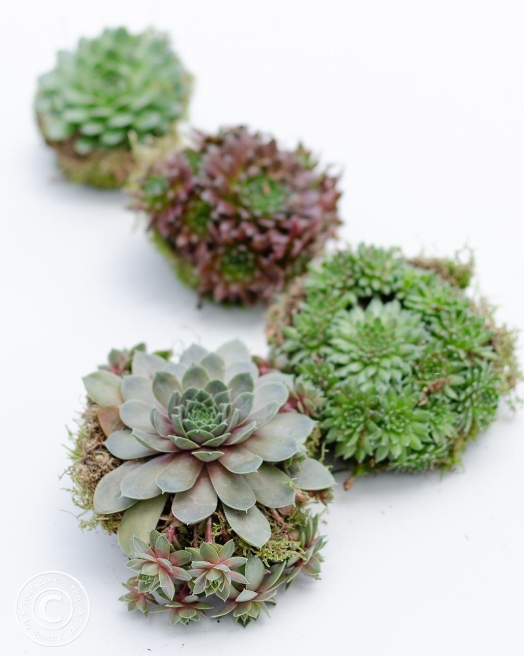 Vier Sempervivum Pflanzen auf weißem Untergrund, von vorne nach hinten unschärfer werdend