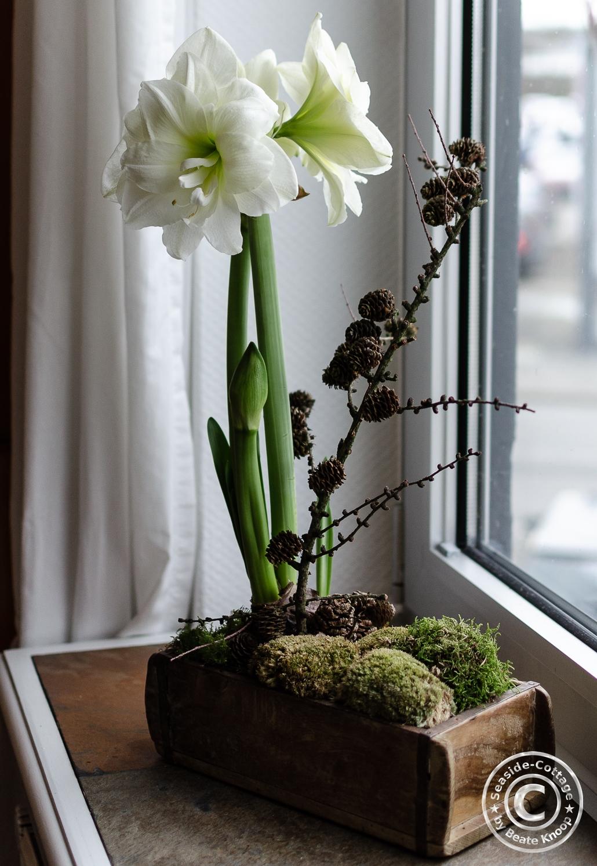 Amaryllis winterlich dekoriert in hölzerner Ziegelform