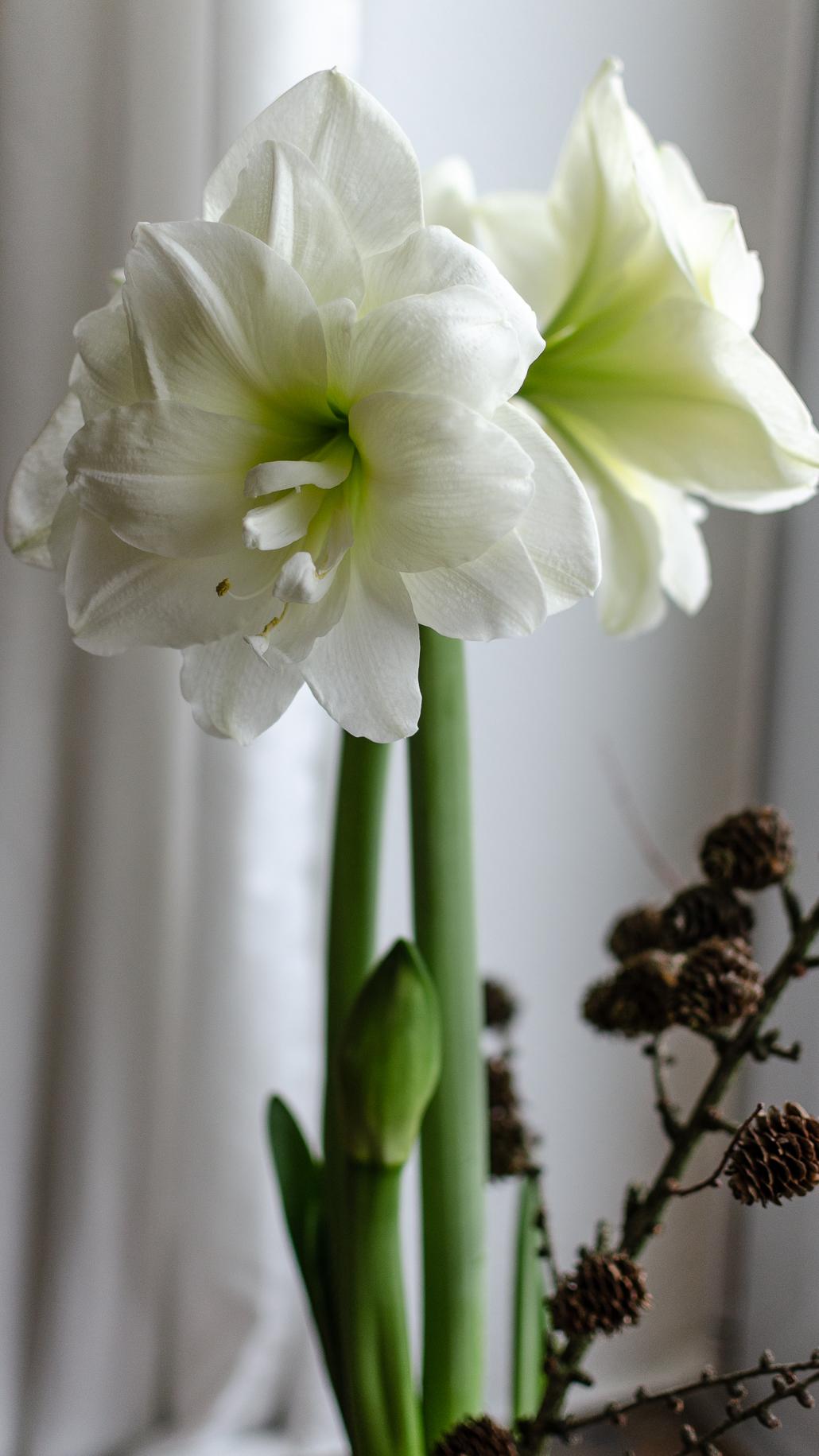 Weiße Amaryllis in voller Blüte